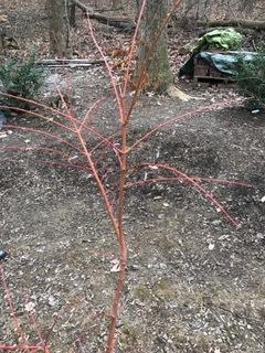 Winter Orange Japanese Maple Stewart Plant Database